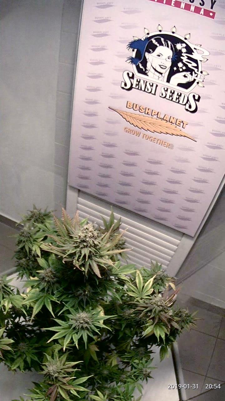 Sensi Seeds - California Indica (English) • Hemp Embassy Vienna